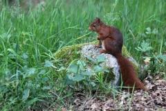 eekhoorn-steen